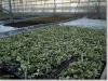 Osmanthus heterophyllus \'Variegatus\' stek