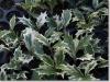 Osmanthus heterophyllus 'Variegatus' stek