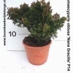 Chamaecyparis obtusa 'Nana Gracilis' P14