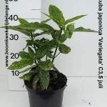 Aucuba japonica 'Variegata' C3,5 juli