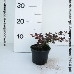 Berberis thunbergii 'Atropurpurea Nana' P10.5 juli