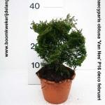 Chamaecyparis obtusa 'Van Nes' P16 deco februari