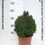 Chamaecyparis thyoides 'Top Point' C3DECO 25cm december