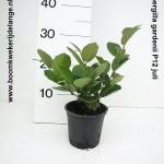 Fothergilla gardenii P12 juli