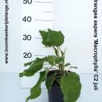 Hydrangea aspera 'Macrophylla' C2 juli