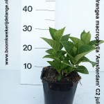 Hydrangea macrophylla 'Amsterdam' C2 juli