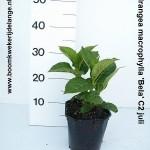 Hydrangea macrophylla 'Bela' C2 juli