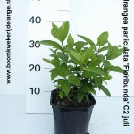 Hydrangea paniculata 'Floribunda' C2 juli