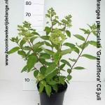 Hydrangea paniculata 'Grandiflora' C5 juli