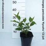 Hydrangea paniculata 'Kyushu' C2 juli