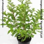 Hydrangea paniculata 'Kyushu' C5 juli