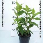 Hydrangea paniculata 'Mathilde' C2 juli