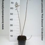 Hydrangea paniculata 'Pink Diamond' C2 december