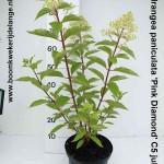 Hydrangea paniculata 'Pink Diamond' C5 juli