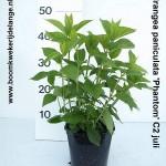 Hydrangea paniculata 'Phantom' C2 juli