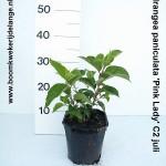 Hydrangea paniculata 'Pink Lady' C2 juli