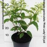 Hydrangea paniculata 'Pink Lady' C5 juli