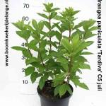Hydrangea paniculata 'Tardiva' C5 juli