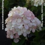 Hydrangea paniculata 'Vanille Fraise'(Renhy)