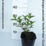 Hydrangea paniculata 'Vanille Fraise' C2 juli