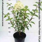 Hydrangea paniculata 'Vanille Fraise' C5 juli