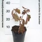 Hydrangea quercifolia C2 december