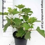 Hydrangea quercifolia C5 juli