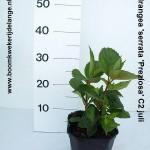 Hydrangea 'serrata 'Preziosa' C2 juli