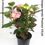 Hydrangea serrata 'Preziosa' C5 juli
