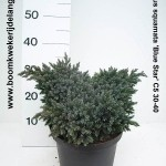Juniperus squamata 'Blue Star' C5 30-40