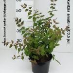 Kolkwitzia amabilis C3,5 juli