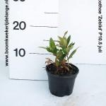 Leucothoe 'Zeblid' P10.5 juli