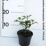Osmanthus heterophyllus 'Gulftide'  P10.5 juli