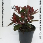 Photinia fraseri 'Little Red Robin' C2 juli