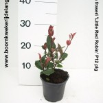 Photinia fraseri 'Little Red Robin' P12 plg