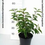 Prunus lusitanica C3.5 augustus