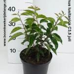 Prunus lusitanica C3,5 juli