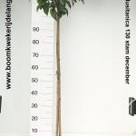 Prunus lusitanica 130 stam december