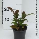 Viburnum erubescens gracilipes P12 juli